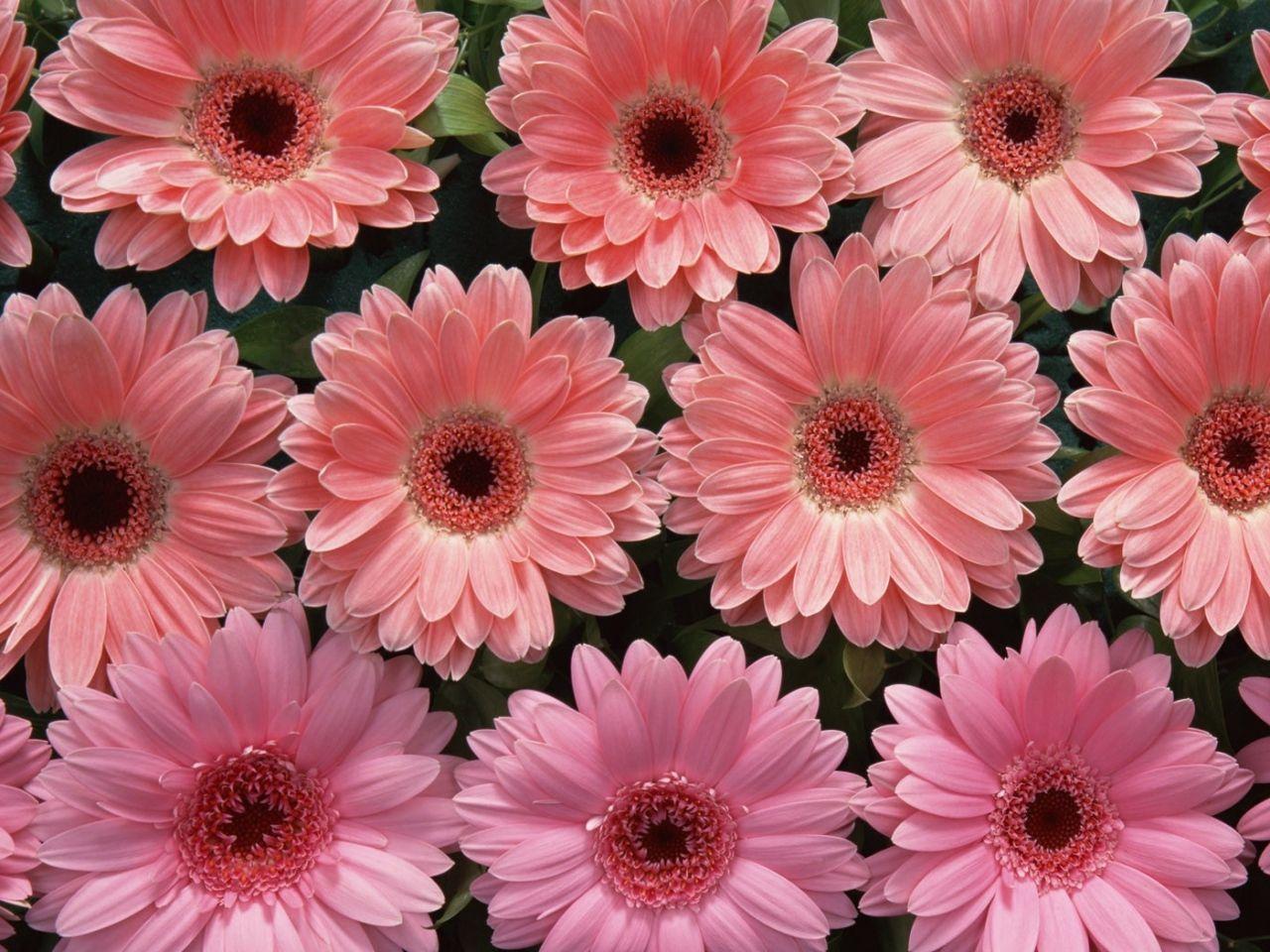 flor imagen imágenes de flores gerbera wallpapers brotes hojas