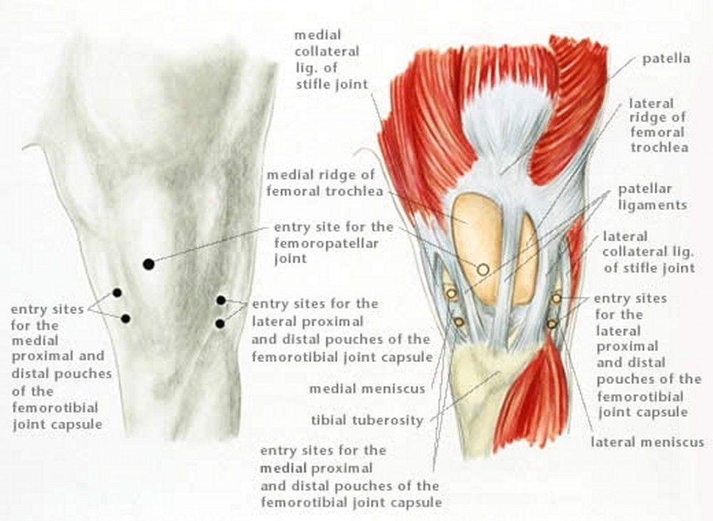 www.merckvetmanual.com multimedia v4738498   Horse Anatomy and ...