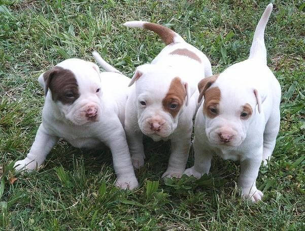 Pics Of Pitbull Puppies Of Pitbull Puppies Nice Pitbull Puppies Wonderful Pitbull Puppies Pitbull Puppies Cute Puppies Images Pitbulls