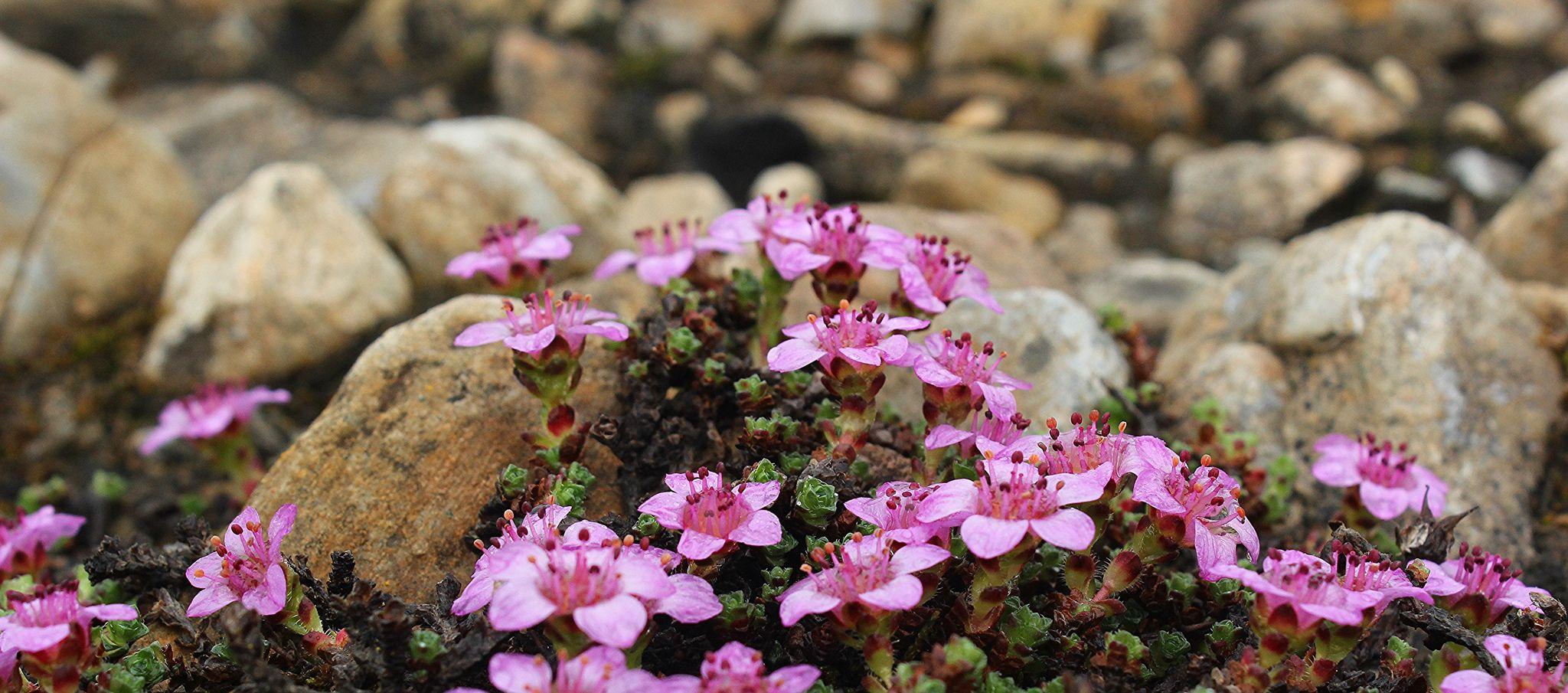 Purple Saxifrage Growing On The Tundra Tundra, Plants