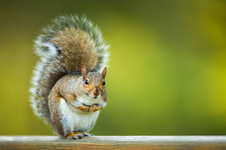 garden repel london from how rid of pest catch squirrel watch control to squirrels ltd it uk get