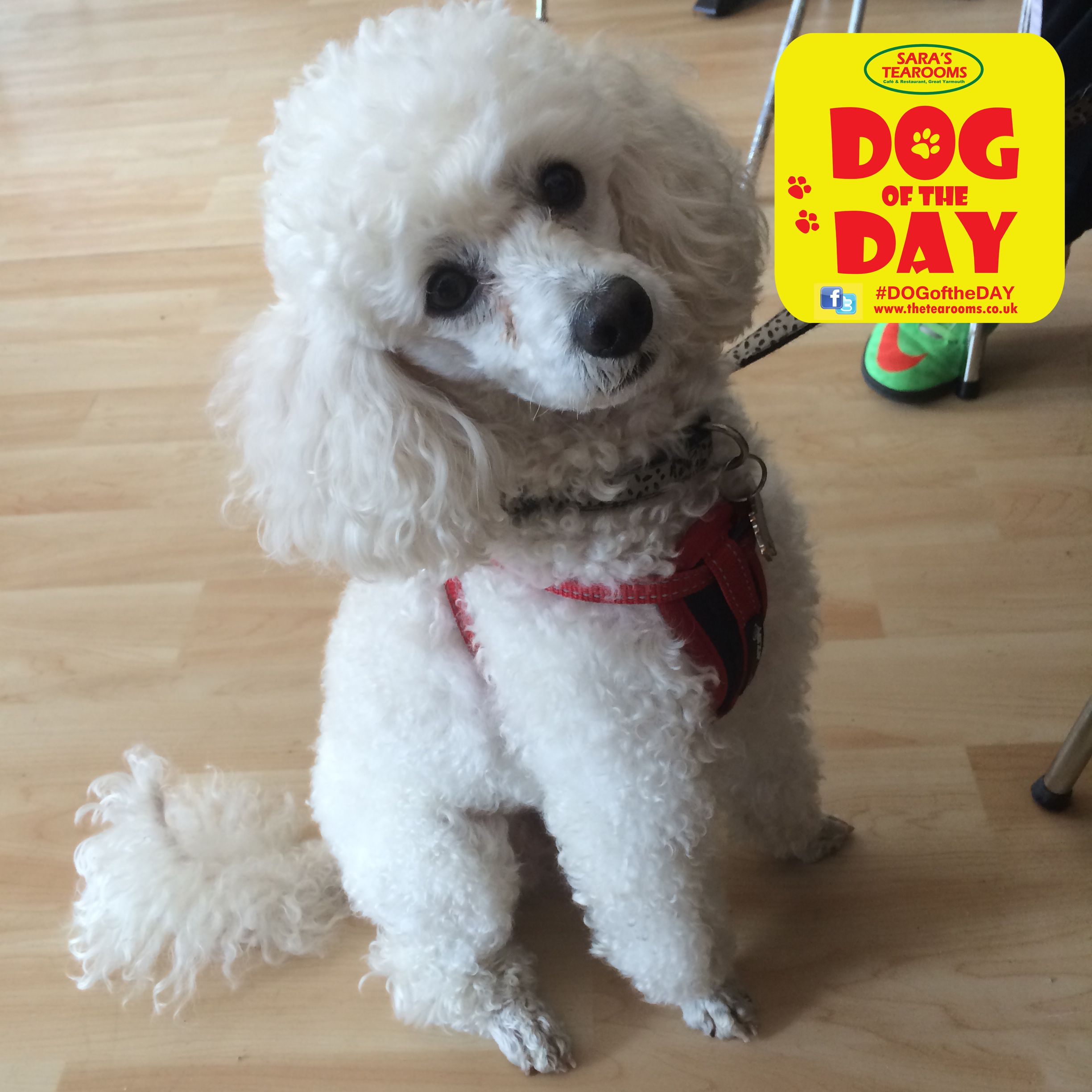 Leo A Year Old Toy Poodle Perros Adorables Pinterest - Dog obsessed with stuffed santa toy gets to meet her idol in real life