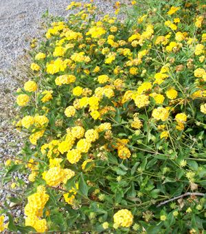Lantana New Gold Sierra Vista Growers Water Wise Plants Lantana Drought Tolerant Plants
