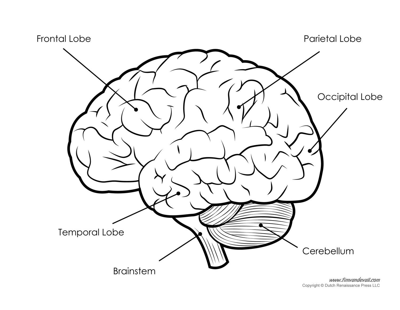 Brain Lobes Worksheet