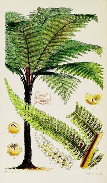 wapiti3:  Garden ferns; or, Coloured figures and descriptions, with the needful analyses of the fructification and venation, of a selection ...
