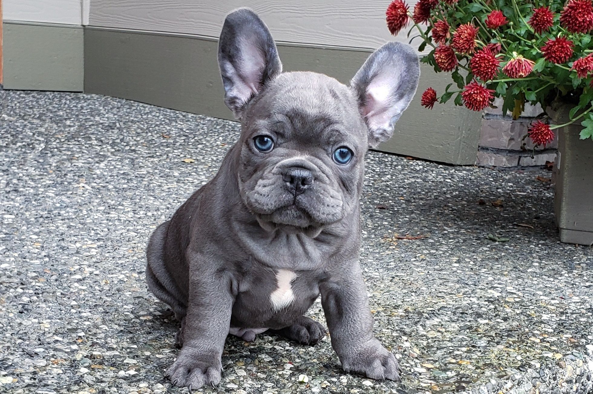 French Bulldog Breeder French Bulldog Puppies French Bulldog