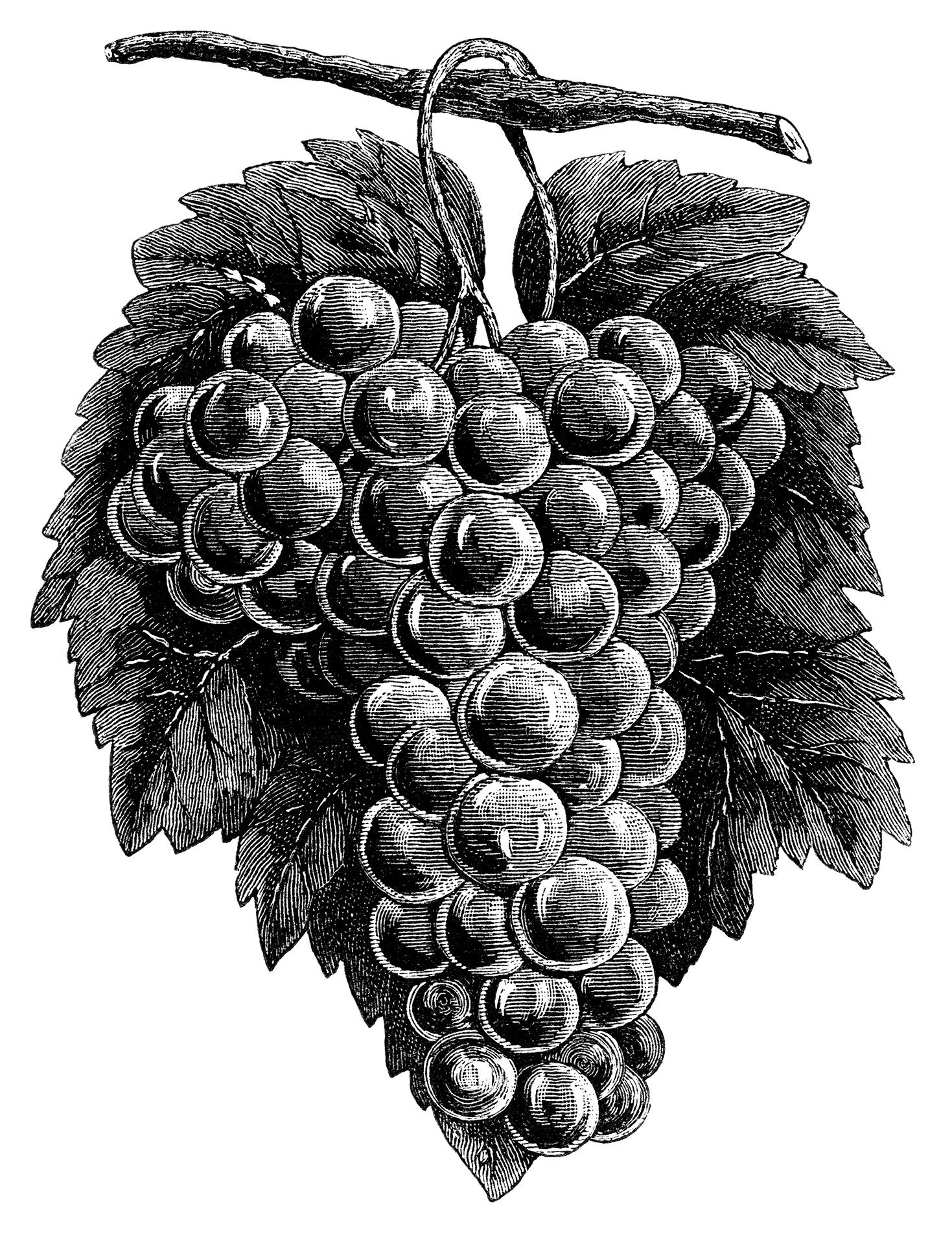 cluster grapes clipart, black and white graphics, vintage food clip ...