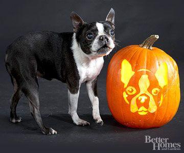 Boston Terrier Pumpkin  Patches is a curious 12-year-old Boston terrier. The first time she saw a jack-o'-lantern, she ran up and attacked it. I hope she behaves better with these pumpkins!  -- Liat Paul, Patches' owner  Download Boston terrier pattern.