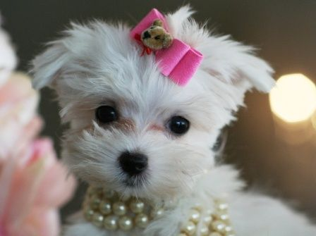 Teacup Maltese Puppies For Sale Teacup Maltese Puppy Dog