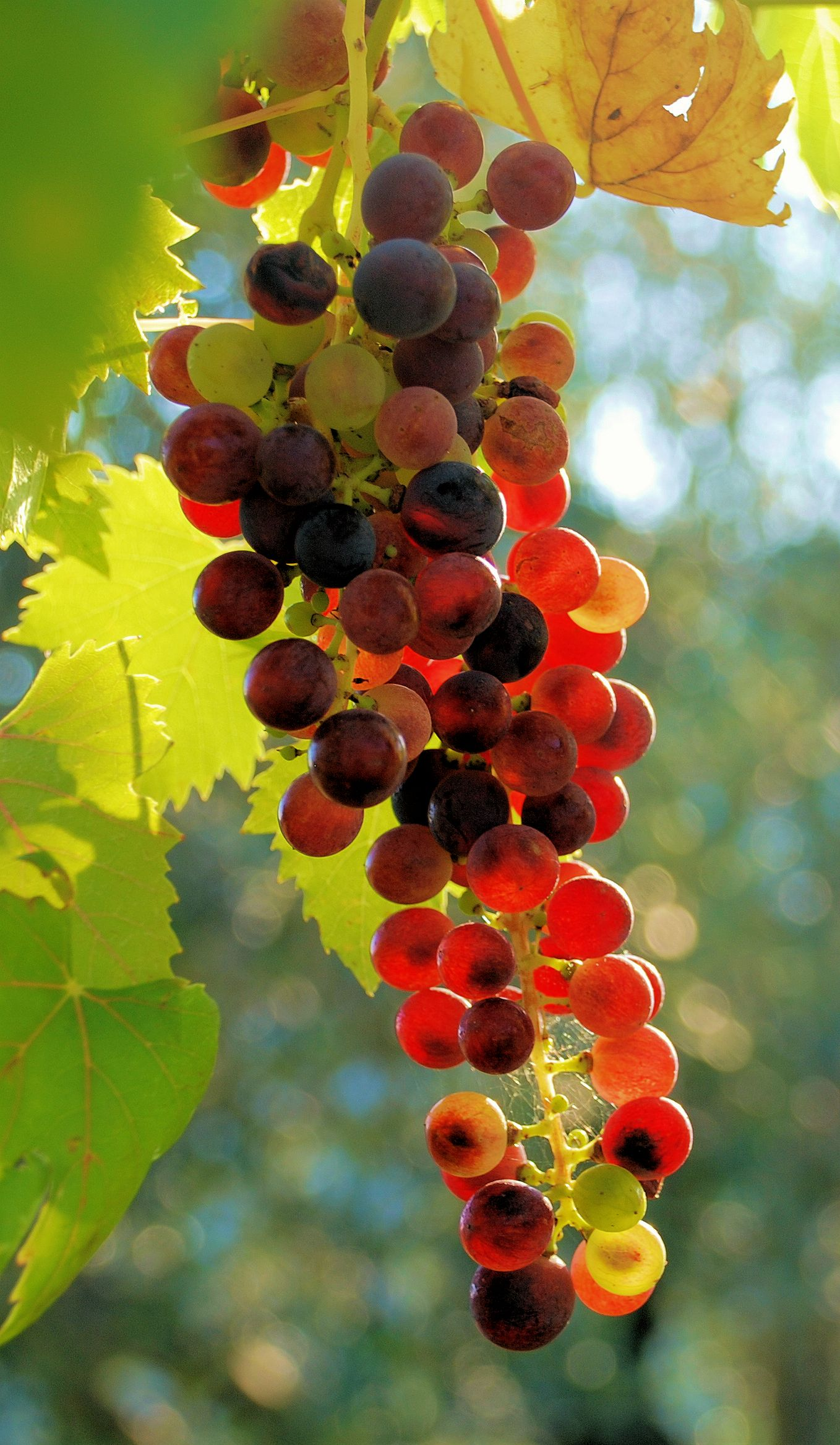 Bunch Of Jewels In 2020 Grapes Fruit Arrangements Grape Vines