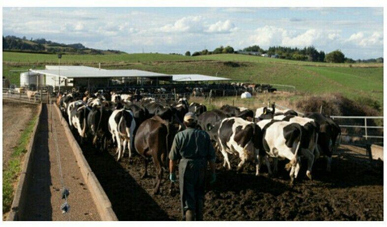 ป กพ นโดย Supachai Ngarmsak ใน Dairy Cows