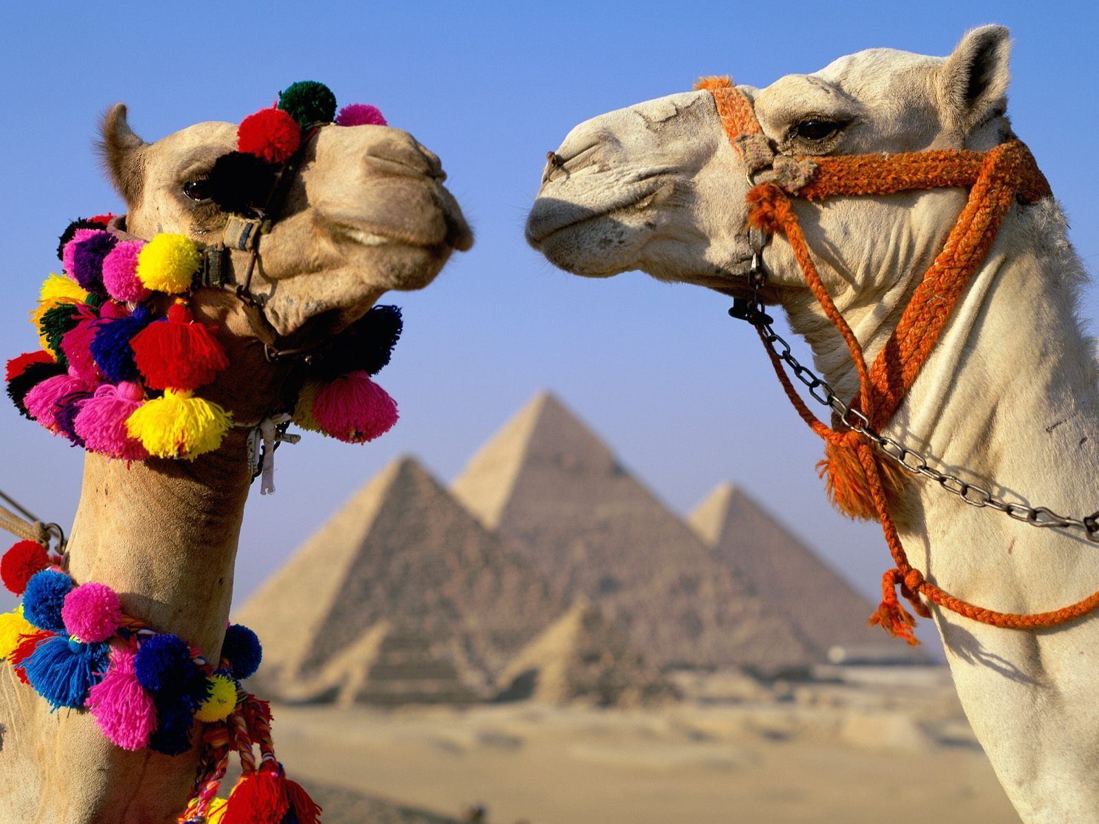 Pyramid Scheme: One camel has plans to party later on