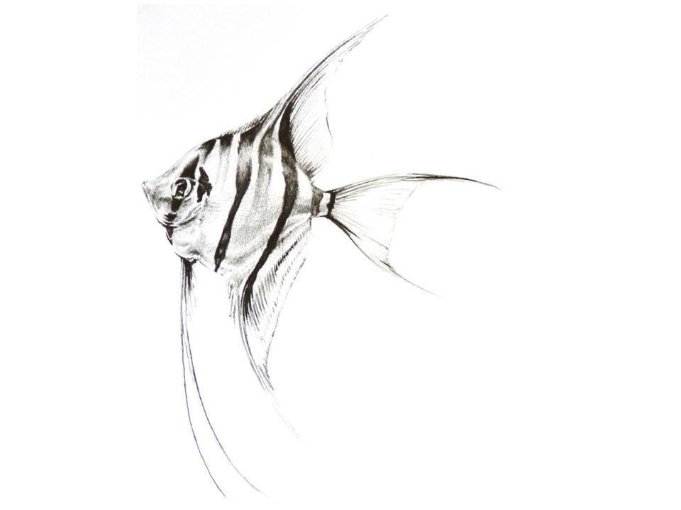 angelfish drawing wwwpixsharkcom images galleries