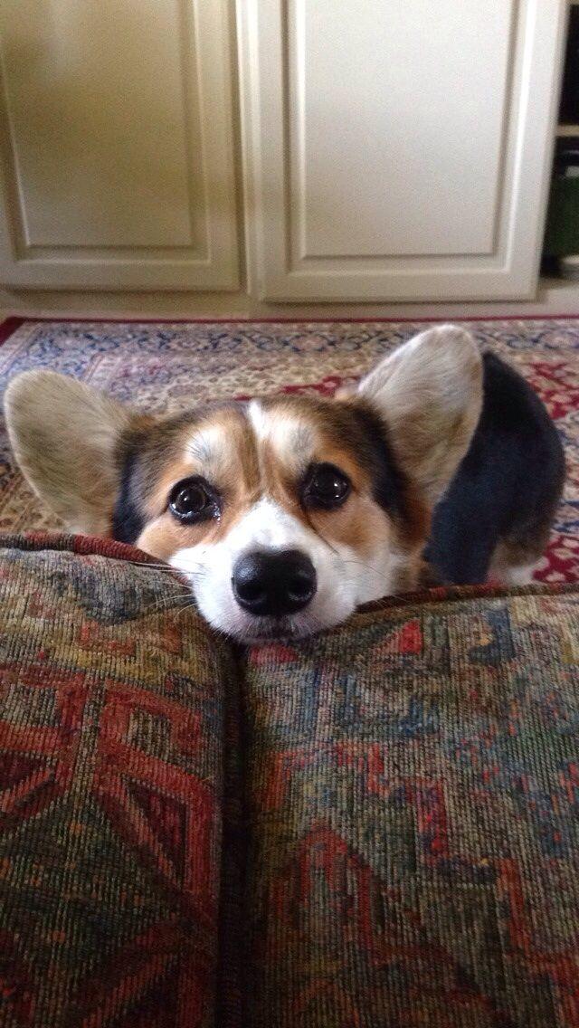 How Could I Say No To This Face Corgi Puppies Corgi Dog