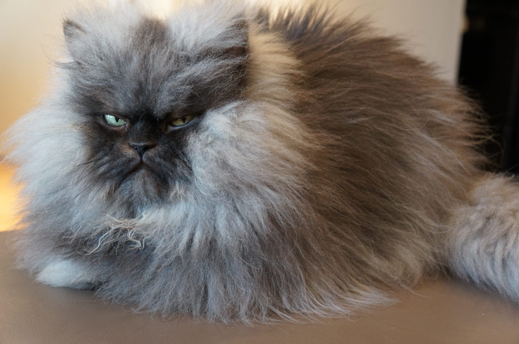Colonel Meow 2011 2014 Famous Long Haired Frowning Cat Fluffy Cat Cats Cute Cats And Kittens