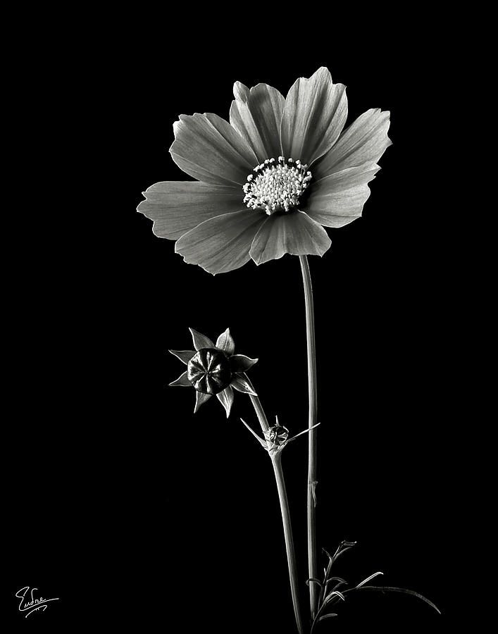Cosmos In Black And White By Endre Balogh Flowers Black Background Black Background Photography Cosmos Flowers