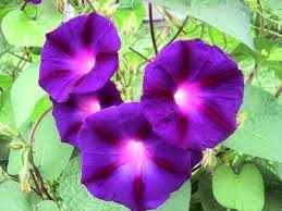 Klisaz Shop (Unique acessories and rare seeds): morning glory