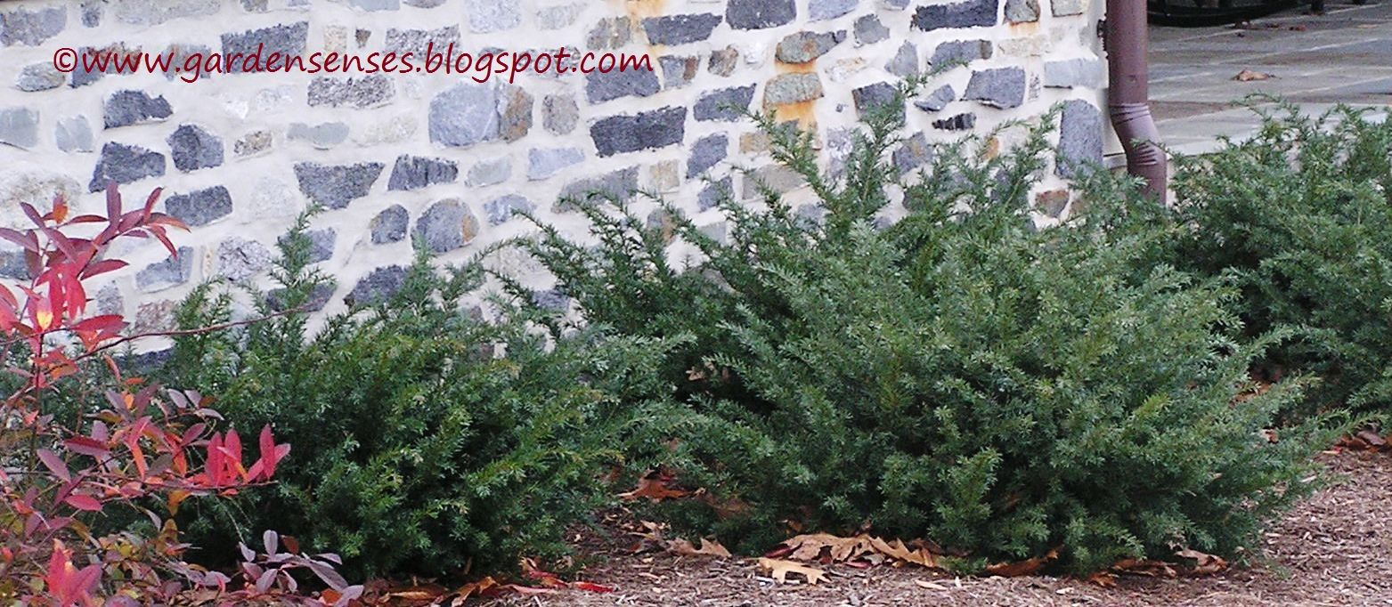 Spreading yew taxus repandens is low growing with for Low growing landscape plants