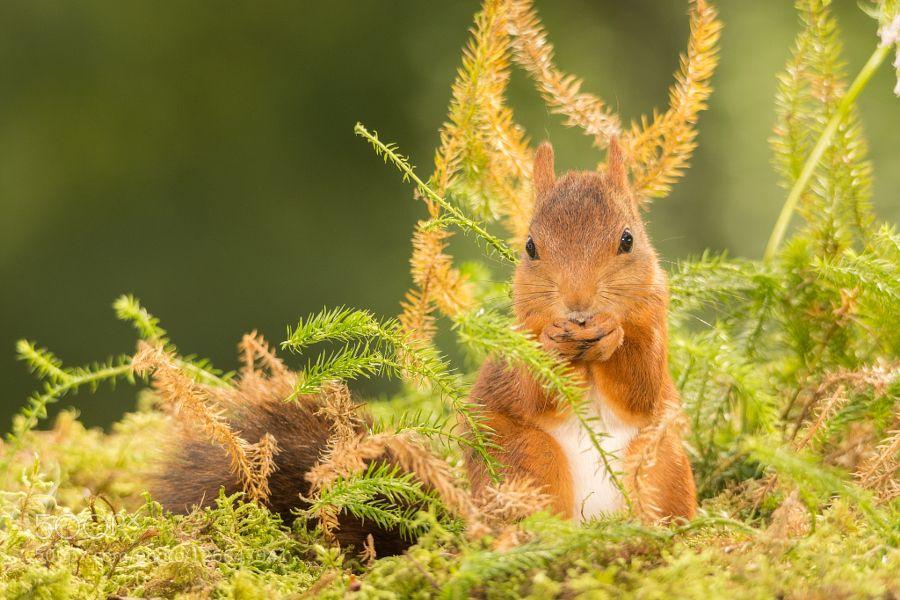 in the between - Pinned by Mak Khalaf red squirrel standing between moss Animals fallanimalautumnbrightclose upcutefunnygeertgroundhappylightmammalmossnatureperennialplantredrodentspringsquirrelsummerweggen by geertweggen