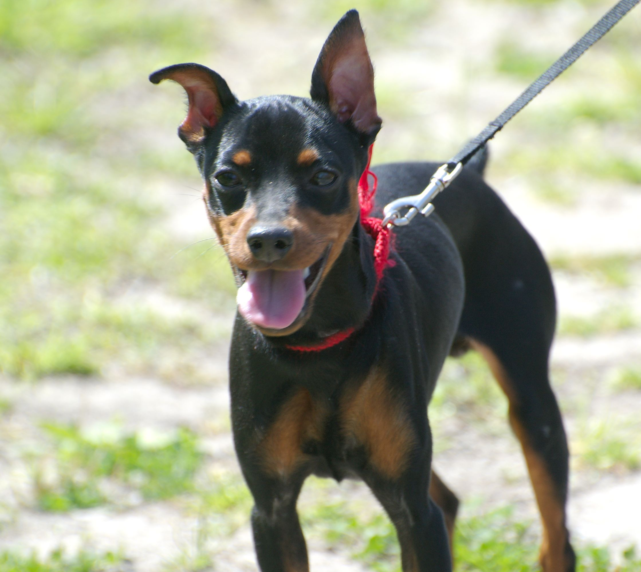 American Rat Pinscher American Rat Terrier And Miniature Pinscher