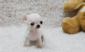 Home Chihuahua Puppies Puppies Chihuahua