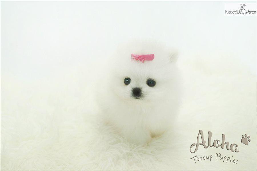 Boo Pomeranian Puppy For Sale Near Atlanta Georgia 91f5c203 0461 Cute Baby Puppies Pomeranian Puppy For Sale Puppies