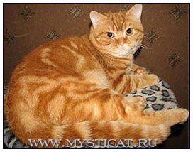 British Shorthair Cat Red Classic Tabby British Shorthair Cats