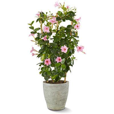 Dipladenia Sundaville Wit Google Zoeken Plants Small Places Sunny Days