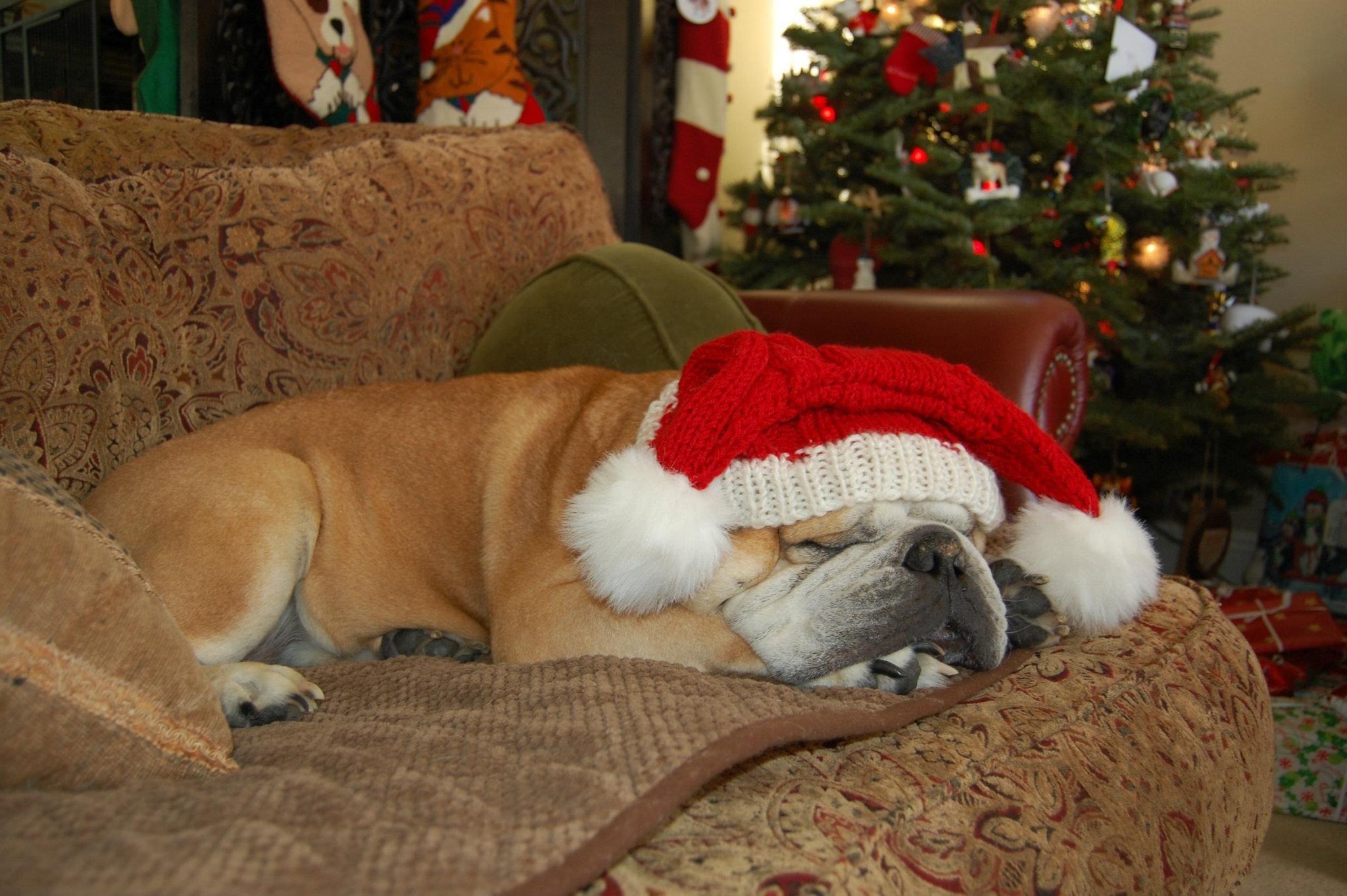 "Christmas Bulldog ""Duncan"" (San Diego Bulldog Rescue"
