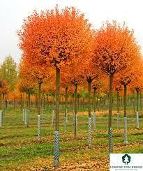 prunus fruticosa globosa trees pinterest prunus and shrub. Black Bedroom Furniture Sets. Home Design Ideas