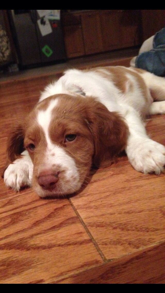 Pin By Cheryl Keast On Dog Life Brittany Spaniel Dogs Brittany Dog Cute Dogs Breeds