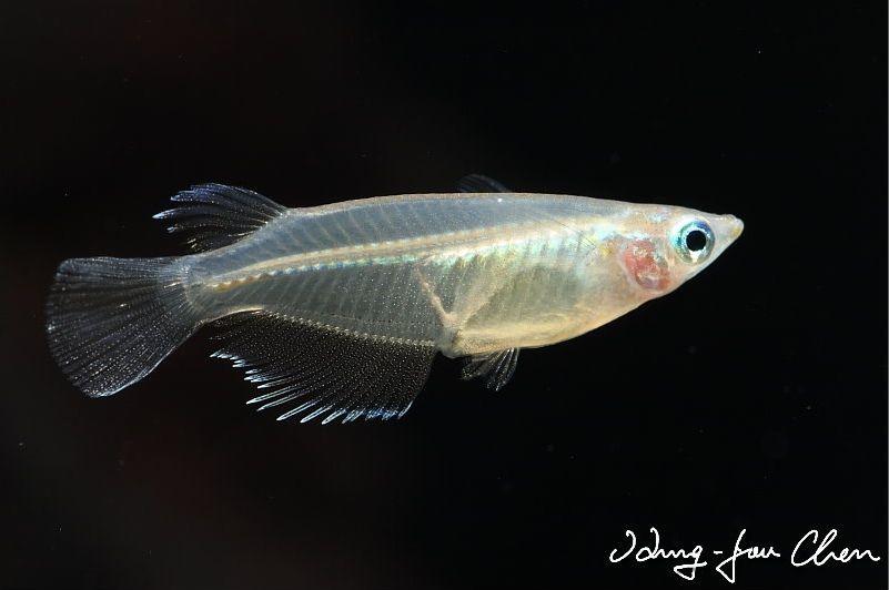 Oryzias Dancena Indian Ricefish Cyprinus Dancena Aplocheilus Mcclellandi Nano Aquarium Fish Fish Pet
