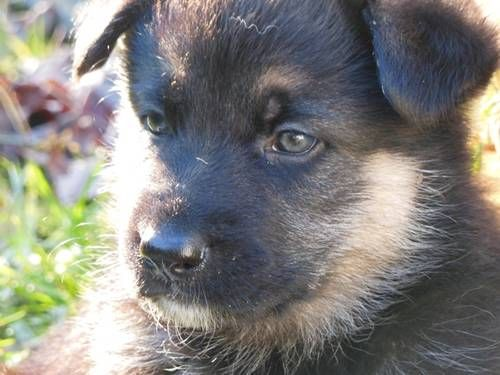 Akc German Shepherd Puppies For Sale Thedawsonfarm Yahoo Com
