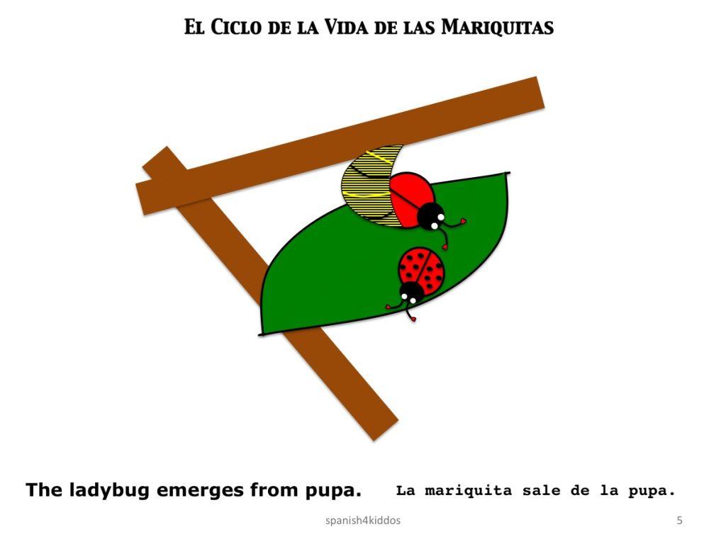 Life Cycle Ladybug5