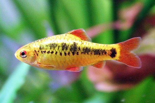 Gold Barb Profile And Description With Aquarium Pictures Aquarium Fish Tropical Freshwater Fish Tropical Fish Tanks