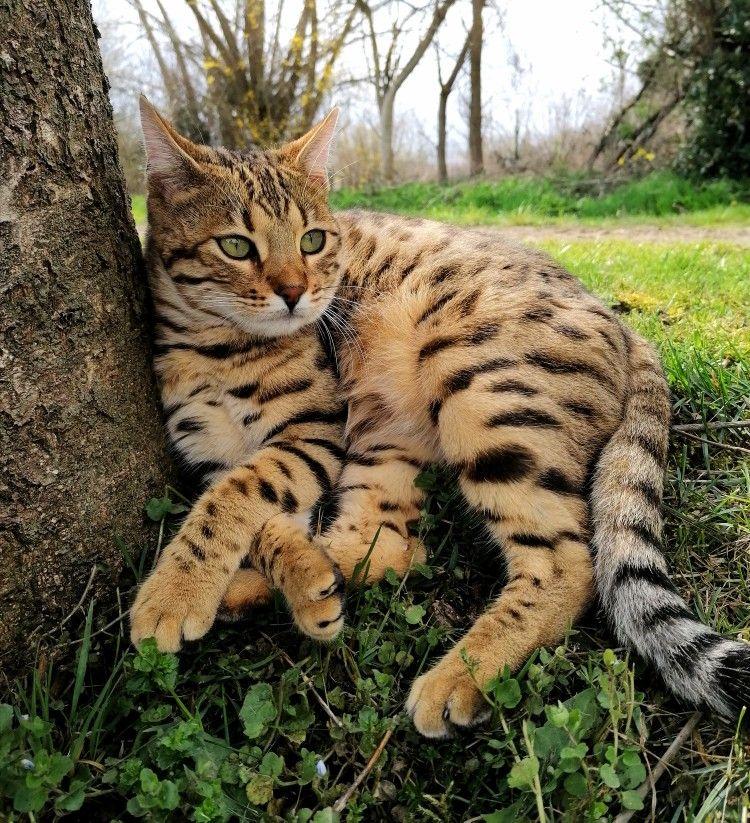Jhara Bengal Kitten In 2020 Bengal Cat Kitten Bengal Kitten Cute Cats And Kittens