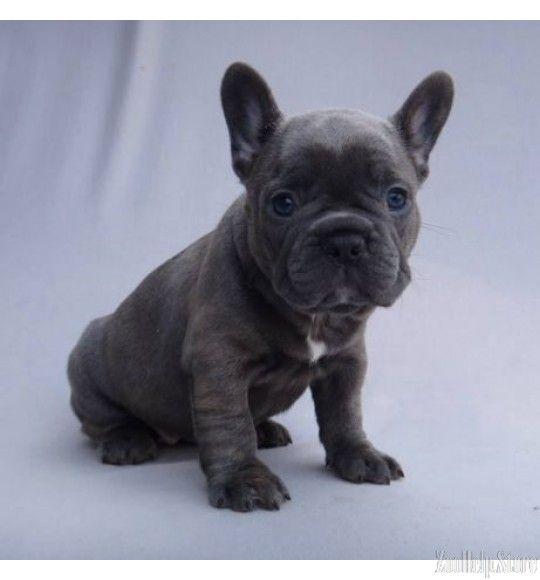 French Bulldog French Bulldog Puppies For Sale Pinterest