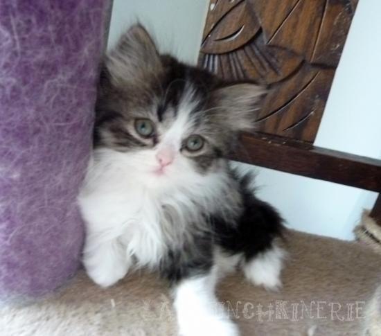 chaton nain, rare  chaton nain, chat à pattes courtes