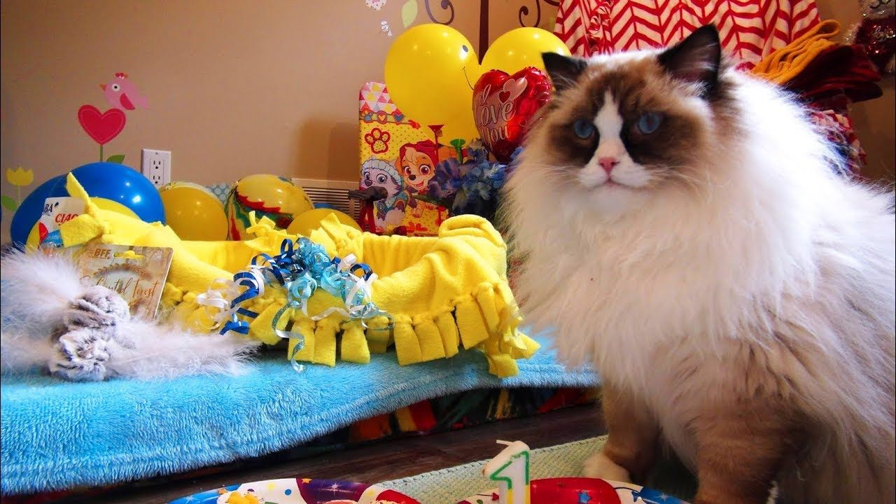 Happy 1st Birthday Casey! 8 Ragdoll Kitties Have A Party