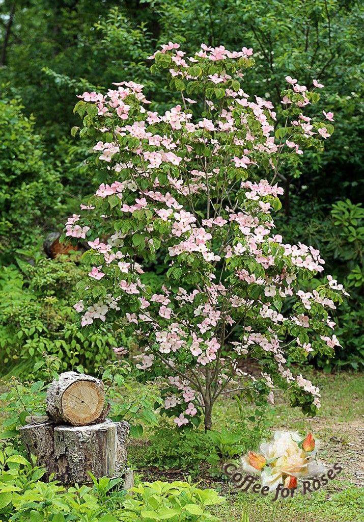 i love cornus kousa 39 satomi 39 the pink kousa dogwood greatplants gardening plants i love. Black Bedroom Furniture Sets. Home Design Ideas