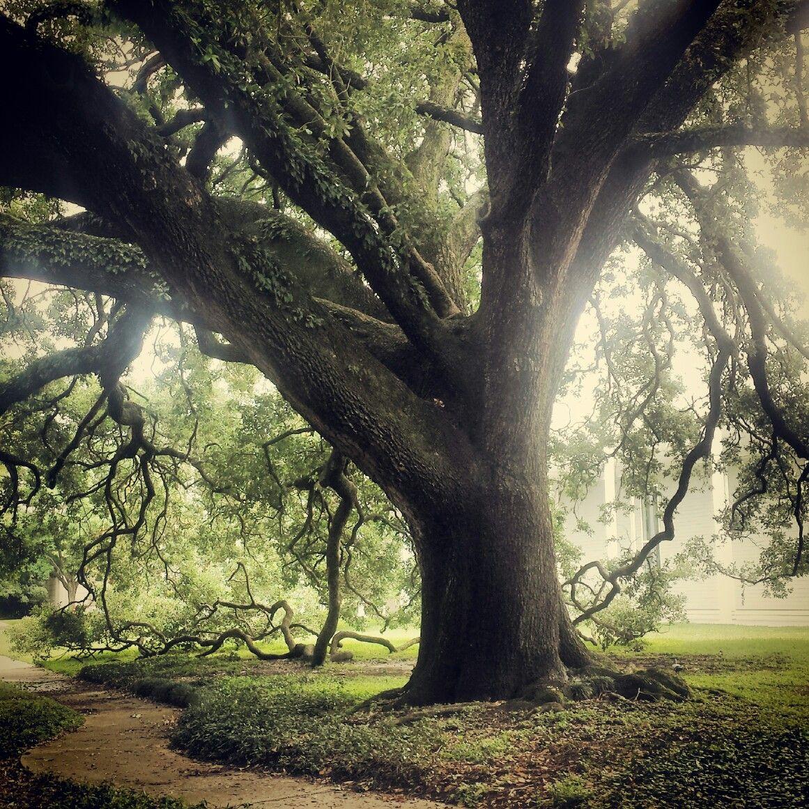Giant Royal Oak