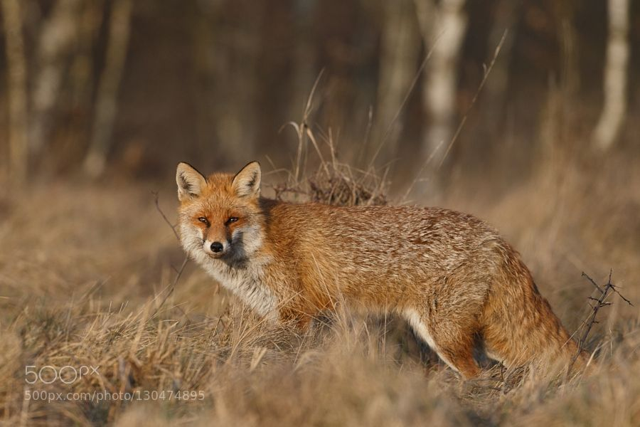 Golden fox :-) de KrzysztofM