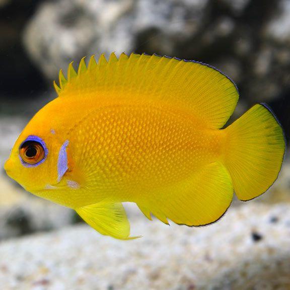Lemonpeel Angelfish Saltwater Aquarium Fish For Marine Aquariums In 2020 Saltwater Fish Tanks Saltwater Aquarium Fish Cool Fish
