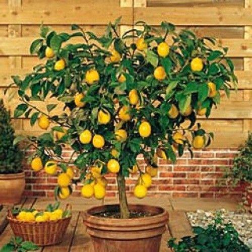 Citrus Lemon Tree Citrus Plants Fruit Berries Indoor Lemon Tree Fast Growing Trees Plants