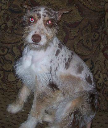Confetti Australian Shepherd Pictures And Information Hybrid Dogs Schnauzer Mix Shepherd Dog Breeds Australian Shepherd