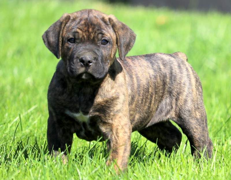 Hogan Cane Corso Puppies Puppies Puppies For Sale