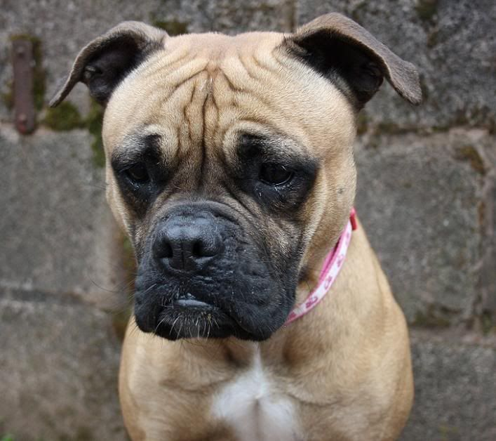 Staffy Cross Pug Google Search Pugs Doggy Animals