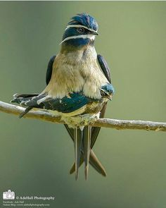 Whiskered Treeswift Birds Animals Beautiful Bird Photography