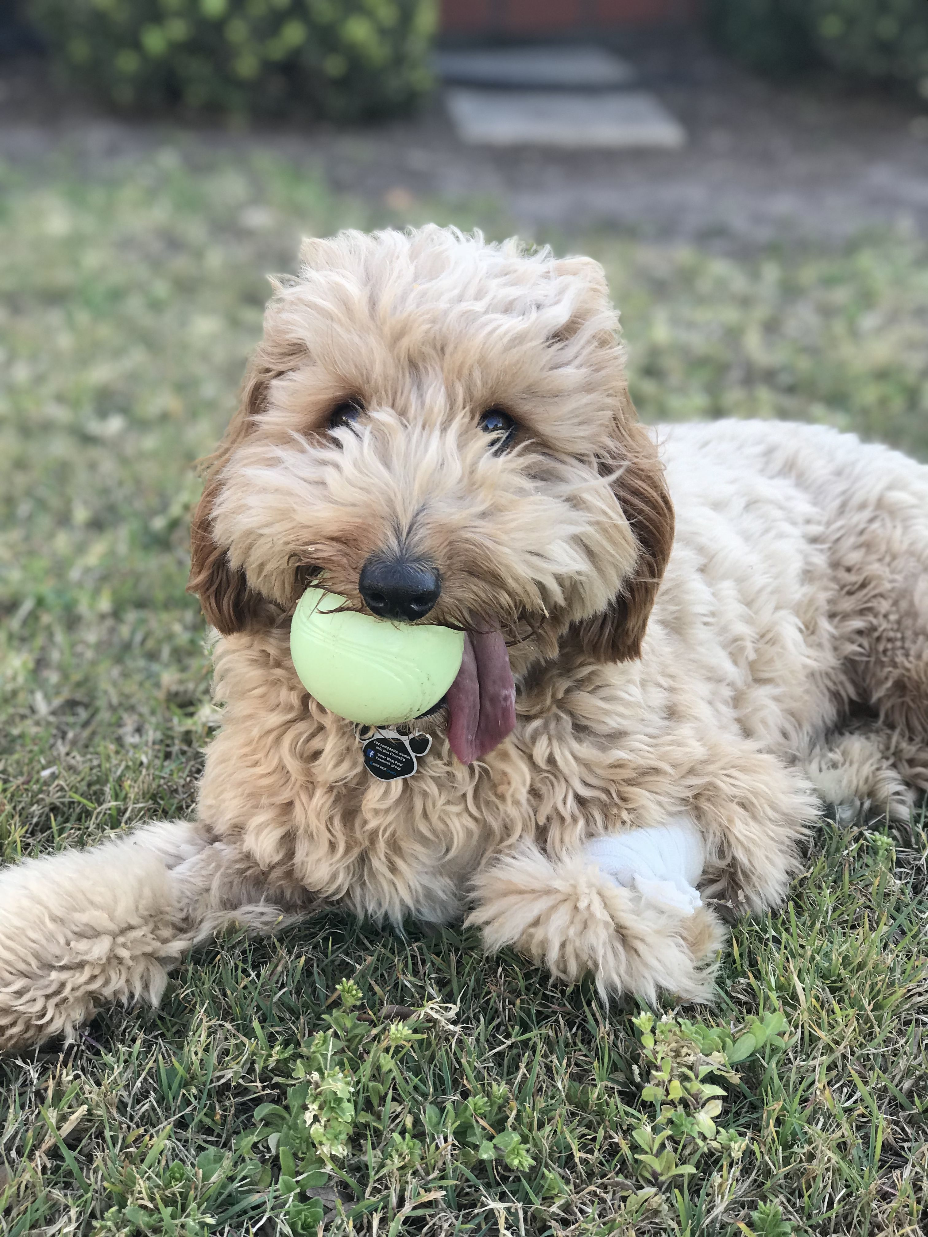 Tongue Hanging Out Of His Mouth Dex Still Needs To Keep His Ball Cavoodle Dogs Dog Friends Animals