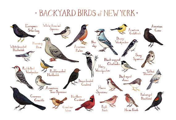 Backyard Birds Of New York Field Guide Style By KateDolamore Naturaleza,  Animales, Carteles De